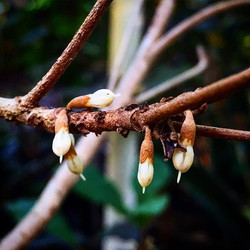 Miracle fruit flowers, just a few weeks until berries! We'll be at the St