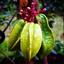 Baby Kari Starfruit! #Starfruit #carambola #thewildguava #localfood #localbusiness #cleaneating #eat