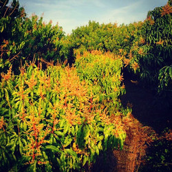 Our mango grove! All of these bloom stocks will give way to our own organic and locally grown mangoe
