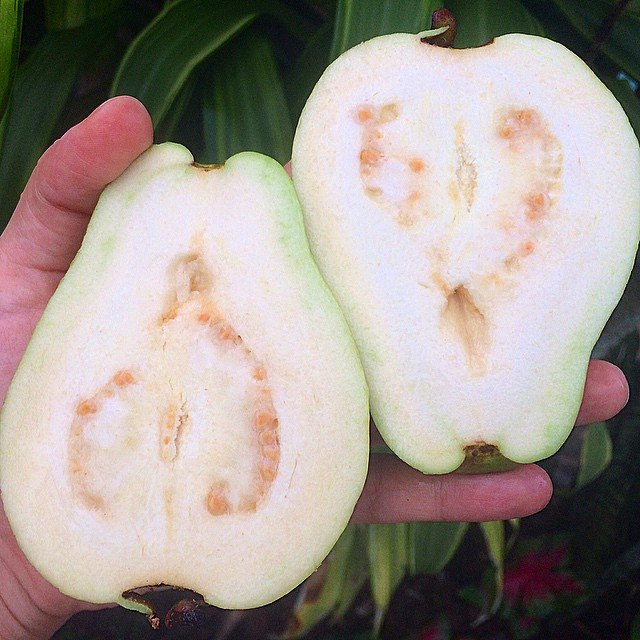 White Guava #guava #grow #garden #growfood #goodforyou #gardenflorida #greentampabay #cleaneating #f