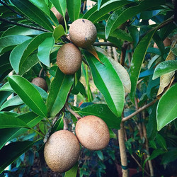 Young Makok Sapodillas, this will be our first harvest off this tree, can't wait til they're ripe! #