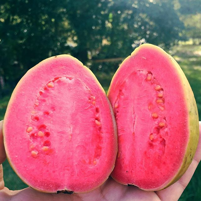 One of our big Ruby Supreme Guavas in the orchard popped out a handful of late season fruit! We'll h