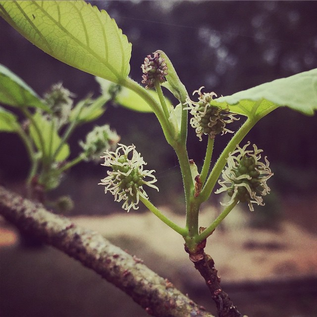 Lots of little mulberries on all the trees! #mulberries #springtime #springishere #florida #tampa #t