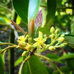Monroe Avocado flowering #monroeavocado #avocado #avocadoflowers #bloom #blooming #thewildguava #spr