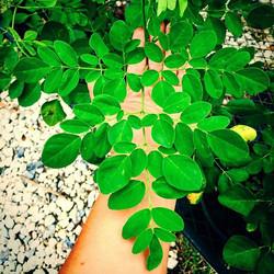 Large leaf Moringa now in stock! Grows faster than the small leaf variety #moringaoleifera #moringa