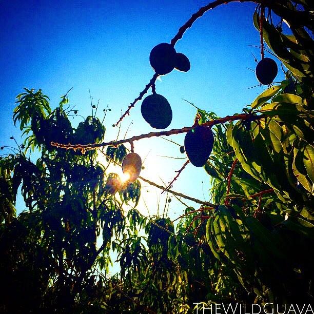#floridasunshine coming through the #mangogrove #thewildguava #babymangoes #almostsummer #realfood #