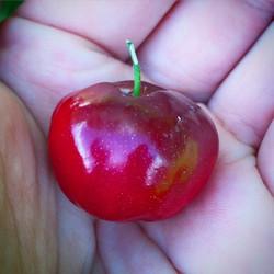 Barbados Cherry! Aka Acerola #acerola #acerolacherry #barbadoscherry #fruittree #fruitarian #thewild