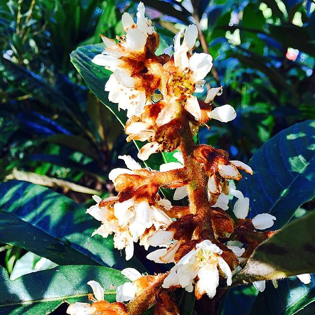 Loquat blooms! #flower #florida #tampa #thewildguava #growfood #bloom