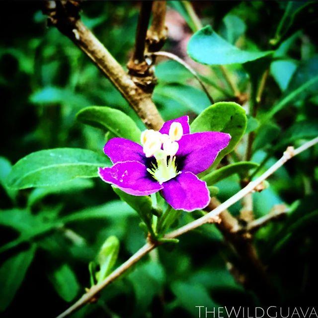 Goji Berry Bloom! #gojiberry #superfood #rarefruit #prettypurpleflower #cleaneating #realfood #garde