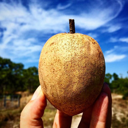 We will have our first Sapodilla harvest of the season at Market this weekend!!!! #excited #sapodill
