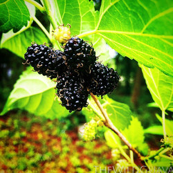 Giant Mulberries! #tampa #tampabay #southtampa #rarefruittree #rarefruit #permaculture #agroforestry