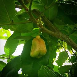 Ackee fruit in the grove! #ackee #acki #akee #thewildguava #nofarmsnofood #homegrown #localfruit #lo