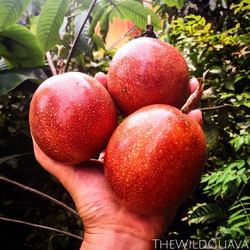 We'll have these gorgeous 'Tanja's Red' passion fruit for sale at _southernbrewing at the #seminoleh