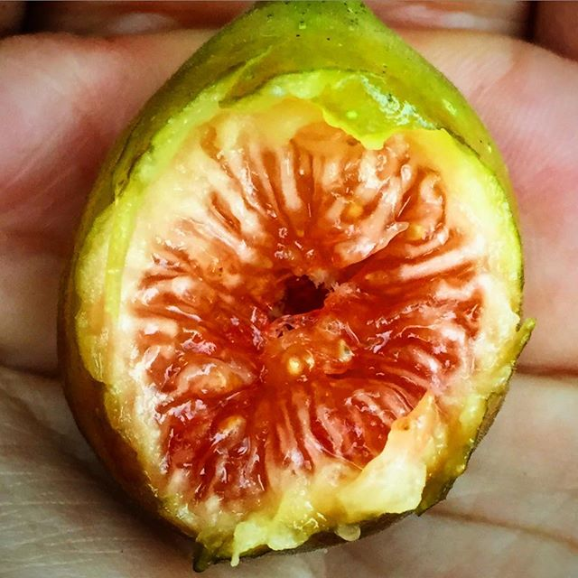 Inside look at a ripe Celeste fig, aka, sugar fig