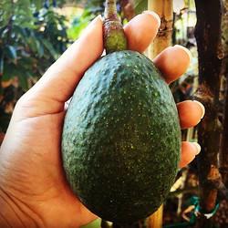 Nishikawa avocado, almost ready! #avocado #nishikawa #nishikawaavocado #cleaneating #fresh #fruit #f