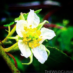 Strawberry tree blooming! Come see us tomorrow at the #seminoleheightsmarket _tbmarkets #tbmarkets #