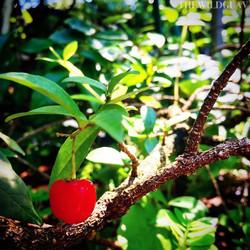 Dwarf 'Sweet Bob' Barbados Cherry #acerola #thewildguava #barbadoscherry #floridasunshine #dwarfcher