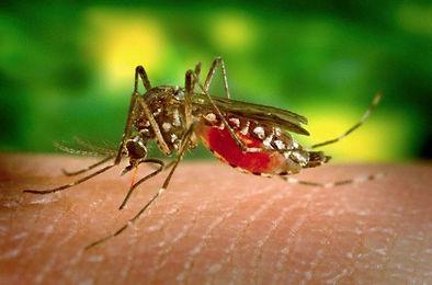 zanzara1.jpg