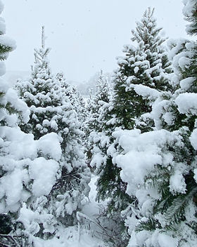 Christmas Trees, U-cut New Jersey