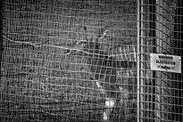 A small antelope behind bars