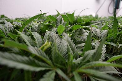 fireflowerconsulting_cannabis_green