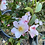 Thumbnail: Camellia Fairy Blush
