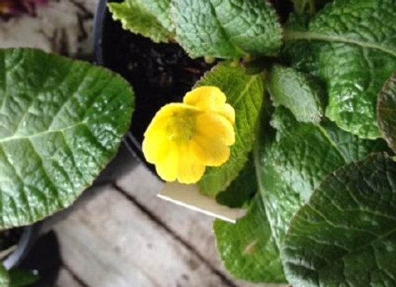 Primula Barnhaven Cowichan Yellow