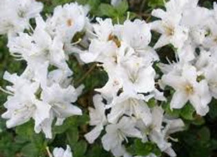 Rhododendron Azalea Kiusianum White PICK UP ONLY