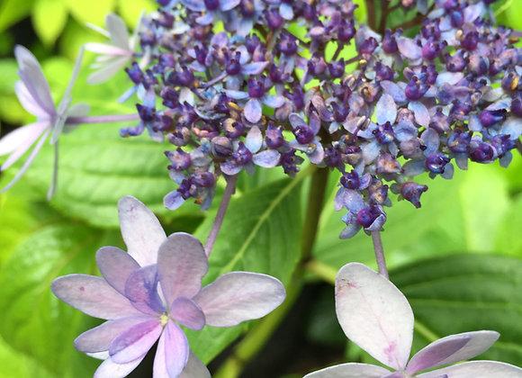 Hydrangea Macrophylla Izu-no Hana PICK UP ONLY