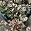 Thumbnail: Berberis thunbergii Rosy Glow