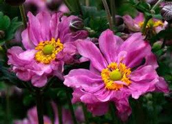 Anemone x Hybrid Double Pink