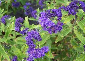 Caryopteris x clandonensis First choice PICK UP ONLY