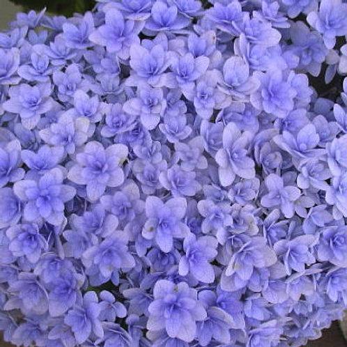 Hydrangea Macrophylla Temari Temari