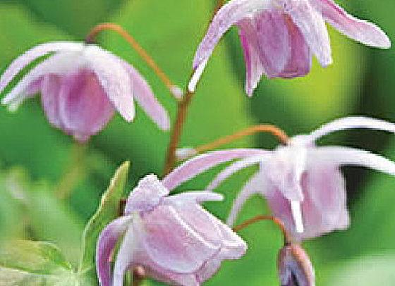Epimedium x youngianum Pink Blush