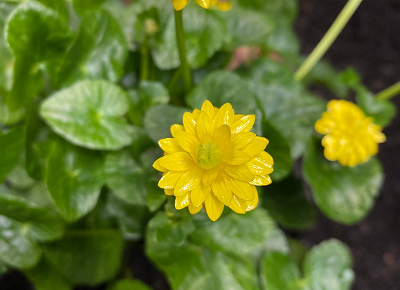 Ranunculus Ficaria Ken Aslet's Double