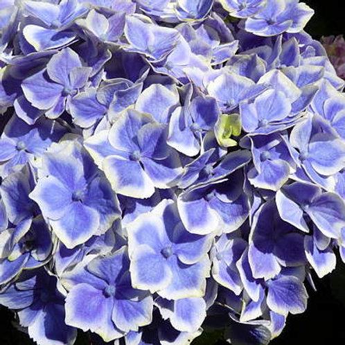 Hydrangea Macrophylla Lady Fujiyo