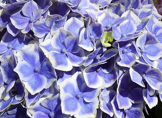 Hydrangea Macrophylla Lady Fujiyo PICK UP ONLY