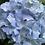 Thumbnail: Hydrangea Macrophylla E. G. Hill PICK UP ONLY