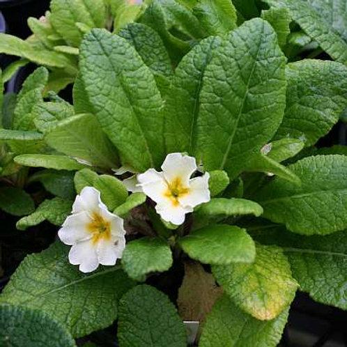 Primula Cream Jack in the Green