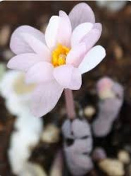 Sanguinaria Canadensis Pink