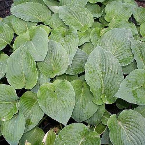 Hosta Heart Leaf