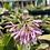 Thumbnail: Heloniopsis Orientalis