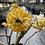 Thumbnail: Edgeworthia Chrysantha Grandiflora