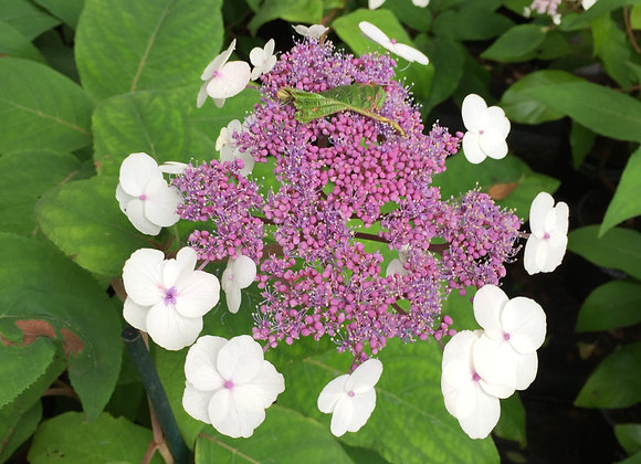 Hydrangea Aspera Macrophylla PICK UP ONLY