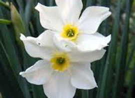 Narcissus Twin Sisters