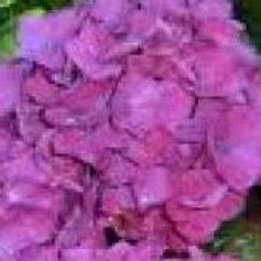 Hydrangea Macrophylla Satellite