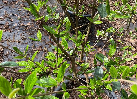 Viburnum x Burkwoodii PICK UP ONLY