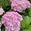 Thumbnail: Hydrangea macrophylla Hopaline PICK UP ONLY
