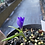 Thumbnail: Tecophilaea Cyanocrocus Violacea