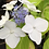 Thumbnail: Hydrangea Opuloides PICK UP ONLY